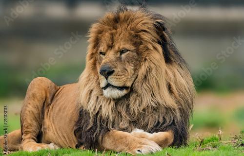 Foto Spatwand Lion Male lion portrait.