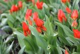Tulip - 214182123