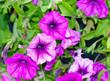 Leinwanddruck Bild - violet flowers tropical