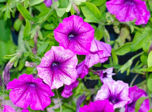 Leinwanddruck Bild violet flowers tropical