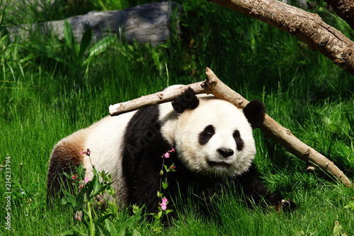 Fotobehang Panda Jeune panda géant en train de jouer