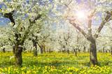Plantage mit Apfelbäumen in Blüte im Frühling mit Sonnenstrahlen