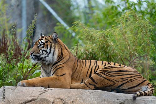 Canvas Tijger Tiger