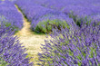 A pathway through a field of lavender, with focus on the foreground