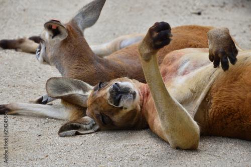 Plexiglas Kangoeroe くつろぐカンガルー