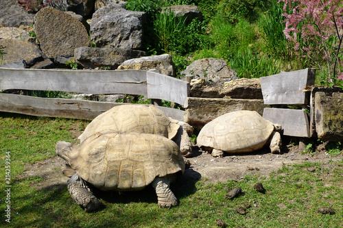 Foto Spatwand Schildpad Groupe de tortues sillonnées