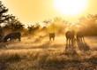 Zebras Morning Sunlight