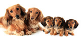 two longhair purebred dachshunds dogs and their puppies.