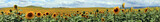 Panoramic landscape of a huge sunflower plantation located in the province of Cordoba, Spain