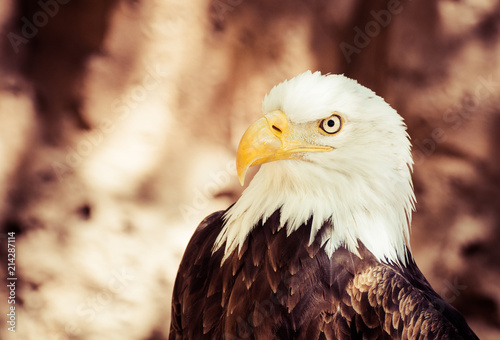 Canvas Eagle bald eagle with incredible look and great beak