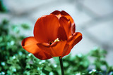 a blossoming tulip in the spring sun - 214294149