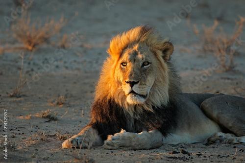 Foto Spatwand Lion Big male African lion (Panthera leo) in early morning light, Kalahari desert, South Africa.