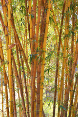 bamboo stalks © khuruzero