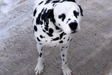 Picture of my dalmatian pure spotted spotty .