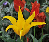 Flowers tulip in the park of the Montreux - 214325957