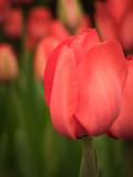 Single red tulip flower head in the field - 214336924