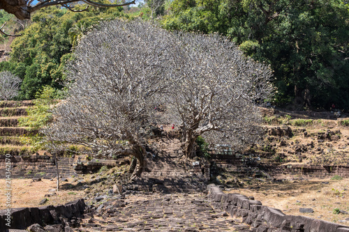 Foto Spatwand Plumeria Laos - Frangipani in Wat Phou