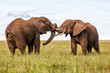Two bull elephants on the plains in the green season in Serengeti National Park in Tanzania