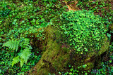 Forest Floor. Forest Stump with Green Moss. - 214347352