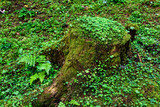 Forest Floor. Forest Stump with Green Moss. - 214347393
