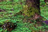 Forest Floor. Forest Stump with Green Moss. - 214347504