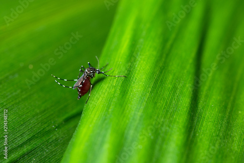 Background macro mosquito on leaf - 214348712