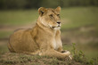 A portrait of a lioness relaxing on grass in a park in Africa