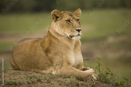 Canvas Lion A portrait of a lioness relaxing on grass in a park in Africa