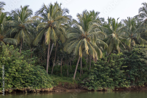Foto Murales Coconut palms growing by a riverside in Kerala, Southern India