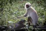 Langur monkey portrait
