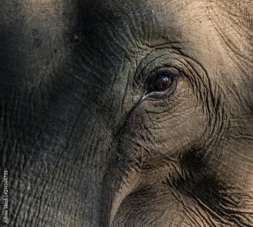 Foto Murales Asian elephant