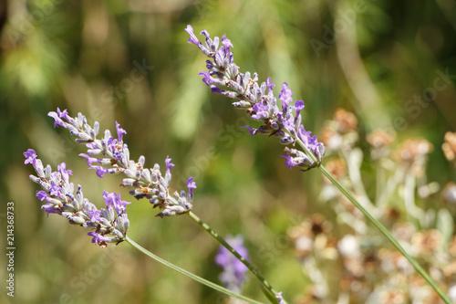 Canvas Lavendel Brin de lavande dans un jardin