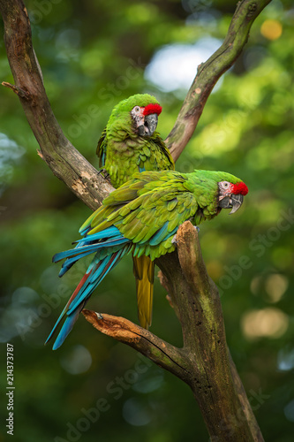 Foto Spatwand Papegaai Military Macaw- Ara militaris, large beautiful green parrot from South America forests, Argentina.