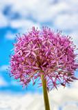 closeup of Allium Gladiator pink flower