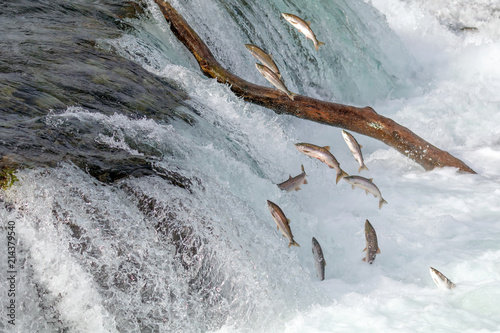 Salmon Jumping Over  the Brooks Falls at Katmai National Park, Alaska - 214379540