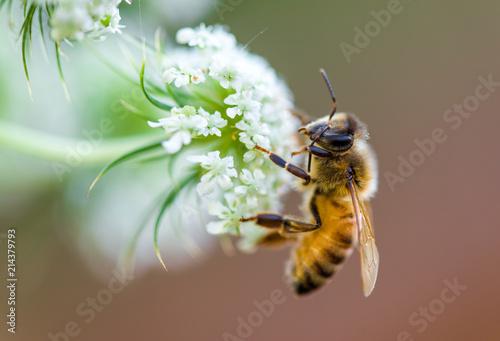 In de dag Bee honeybee macro white flower