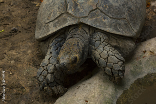 Foto Spatwand Schildpad Geochelone sulcata in zoo