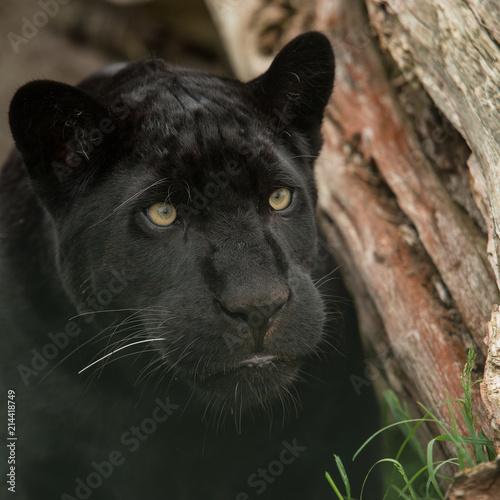 Foto Spatwand Panter Beautiful portrait of black panther panthera pardus in colorful landscape