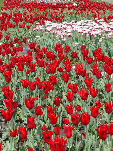 Foto Spatwand Rood traf. boundless field of red and white tulips