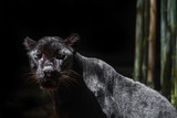 close-up of the black panther