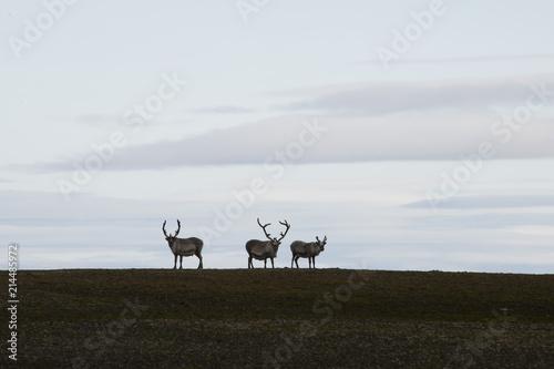 Fotobehang Grijze traf. View of some native reindeers in the Arctic