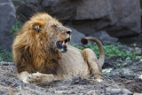 Dominant lion male in Sabi Sands Game Reserve part of the Greater Kruger Region in South Africa