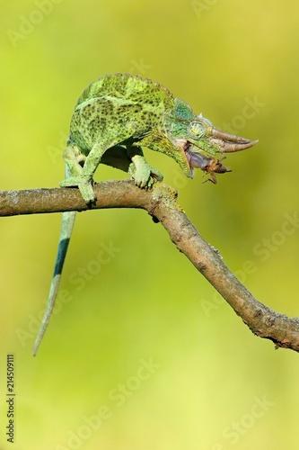 Plexiglas Kameleon Jackson's Chameleon (Trioceros jacksonii)