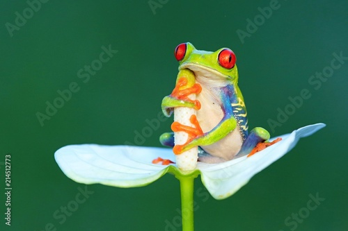 Foto Spatwand Kikker Red eyed frog, Agalychnis callidryas a arboreal hylid native to tropical rainforests in Central America in panama and costa rica . Mistakenly also called the Green Tree Frog