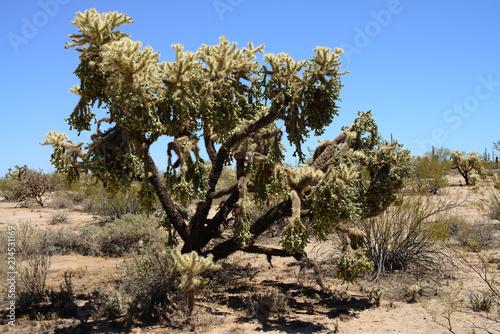 Foto Spatwand Arizona Cholla cactus Sonora Desert Arizona USA