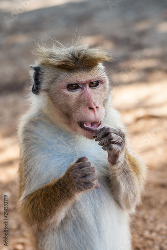 In de dag Aap Cute monkey in a natural forest of Sri Lanka. Barbary ape or magot (Macaca sylvanus)