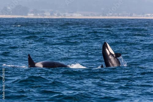 Foto Spatwand Dolfijn Orca Whale