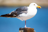 Close up of seagull at the ocean. Medium to large bird with a squawking call, long bill and webbed feet. Scavenger, coastal.