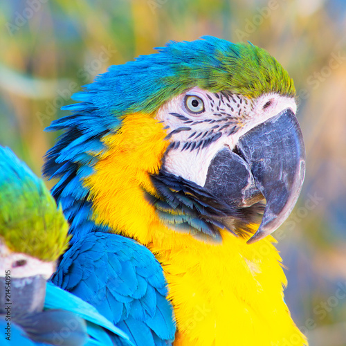 Foto Spatwand Papegaai Headshot portrait of a gold and blue Macaw Parrot with a blurred background