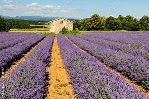 Fotobehang Lavendel traditional lavender field in Haute-Provence
